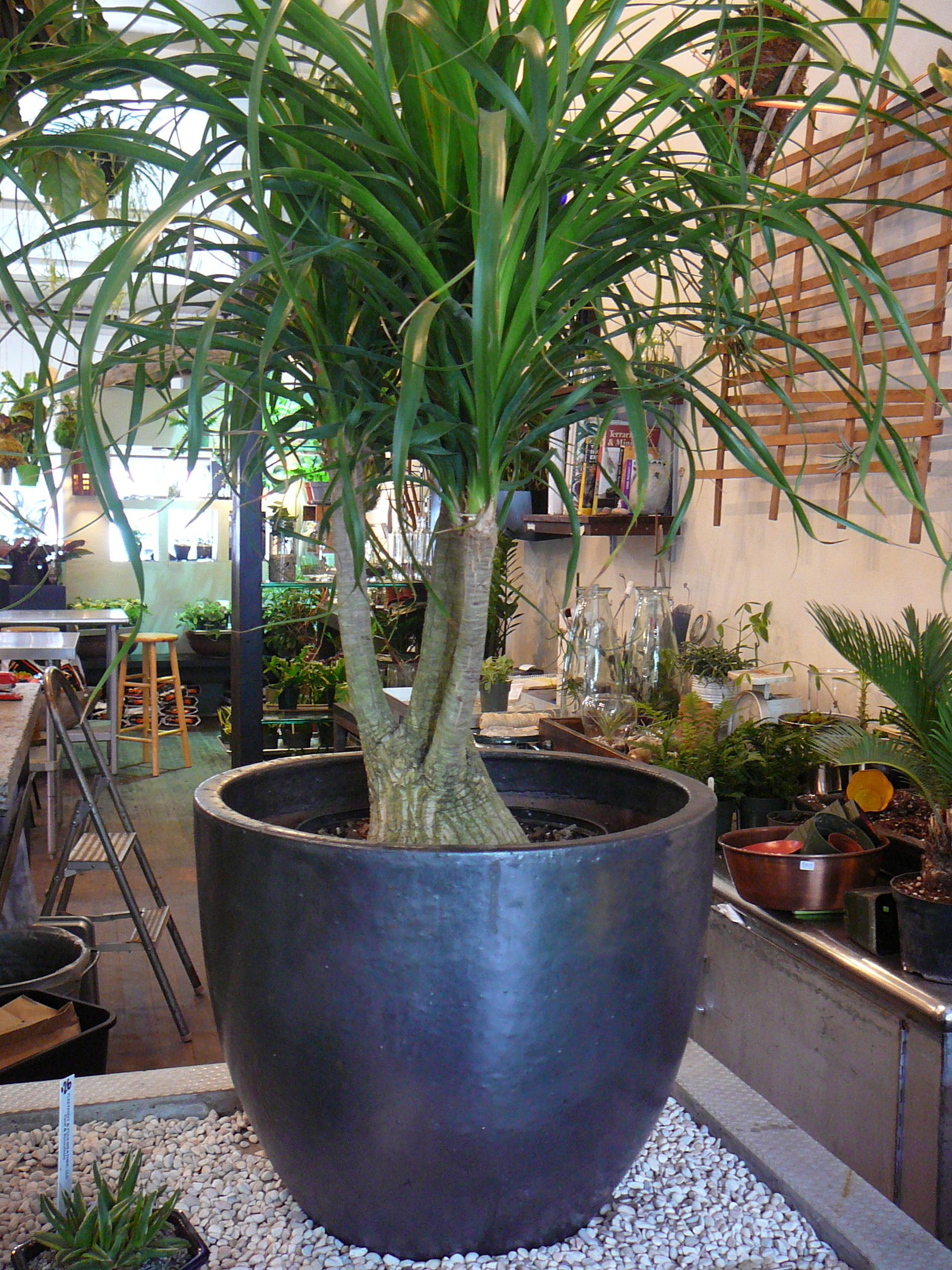 Ponytail Palm  Beaucarnea recurvata  The Palm Room