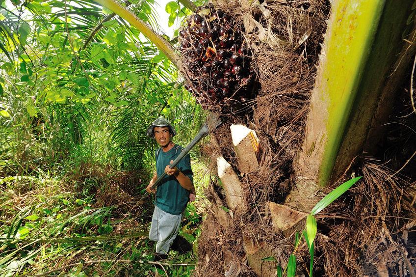 smallholder palm oil