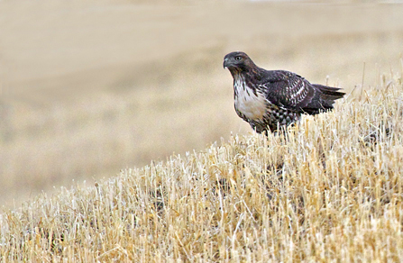 Red-tailed Hawk (buteo jamaicensis) by Gary Hamburgh - All Rights Reserved
