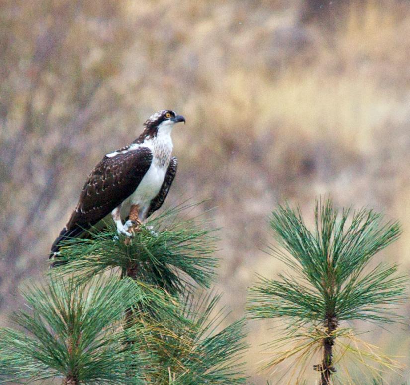 GHamburgh_MG_4963-Osprey
