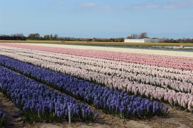 glorious hyacinths