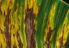 The dying leaf on the bigger banana plant is much more interesting