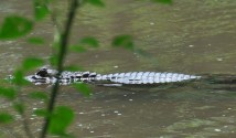 The patterns on the skin of a caiman in the river