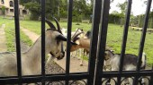 There were a number of goats at the gate interested in their visitors.