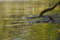 Water swirls around a fallen tree.