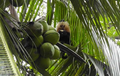 The one close to us had his eye on these coconuts.
