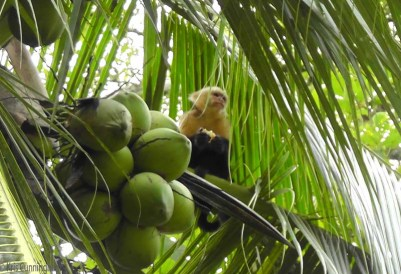 He was an expert at getting into the coconuts and eating the meat, throwing the husks down on us in the street below.