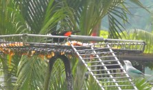 The bird feeder full of fruit, very popular with a lot of different types of birds. The one on top is beautiful, all black until it moves its wings and reveals the bright orange underneath.