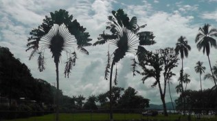 These huge traveler palms looked impressive against the backdrop of beautiful afternoon clouds. The piece of land behind them is for sale, so we walked around there too. The workmen trimming the grass warned us to stay away from the tall coconut palms, because if a coconut falls on your head it's like being hit with a large rock!