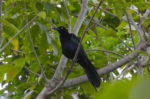 These noisy grackles were common in the area.