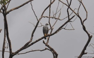 Our neighbor trimmed her trees severely but it has given us a view of this bare tree beyond that is visited by a lot of really interesting birds. This gray hawk has been there quite often, and one day there were two of them.