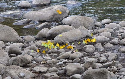 There were a lot of these green and yellow butterflies at the river one day.