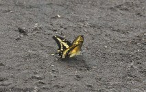 A pretty swallowtail.