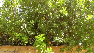 The tree is in someone's yard but a good part of it hangs over the wall and the fruit is falling on the ground unused.