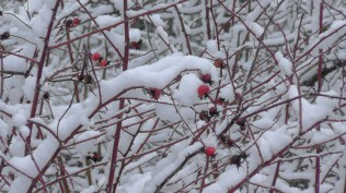 Rose hips in the snow.