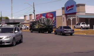 As the truck turned the corner, I saw it had two of these huge plants! It stopped up the road at a new office building that is just finishing construction. It's probably part of the new landscaping.