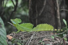 A Jesus Lizard, a different variety than we have near my house.