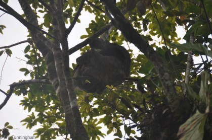 Another tree sloth in the tree.