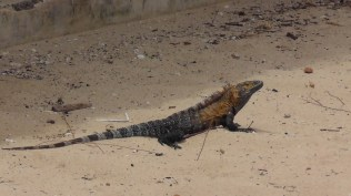 We got lots of great iguana photos!