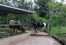 Some of the cows wander in to see what is for lunch
