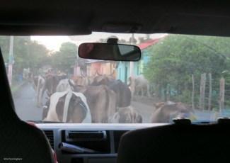 Returning home, another Ometepe traffic jam.