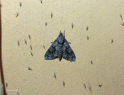 But, among the bugs there was this gorgeous moth on the wall