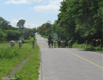 This is the main road around the island. Cows on the highway? But of course!
