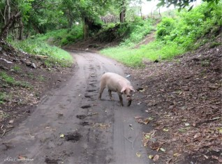 """Another addition to my """"pigs in mud"""" collection. This one was in the street leading out of the neighborhood."""