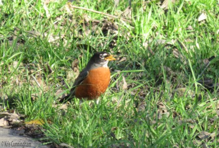 I remember being so happy to see the robins when I was a kid because they told us that spring was coming.