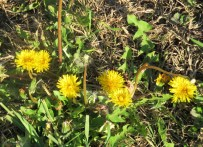 """I also remember dandelions in fields and yards. They were """"weeds"""" and I was instructed to remove them from the lawn, but they sure were pretty in the spring."""