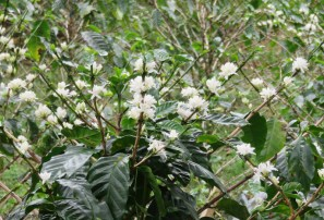 Behind the fairgrounds we found these coffee plants in full bloom.