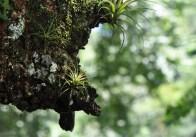 A couple little bromeliads growing on a tree limb.