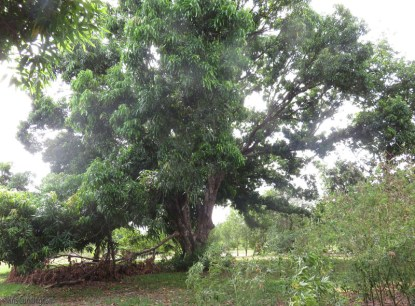This is a huge and very beautiful tree! It lost a limb during the dry and windy season, but there is still plenty of it left to make mangoes.