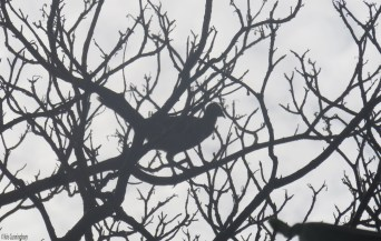 They are interesting and elegant birds, though they seem to spend more time hopping around in trees than they do flying.
