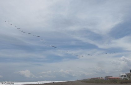 Just as I was about to leave, this big formation of pelicans flew overhead.