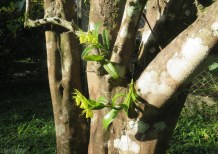 while I was out there, I noticed the orchids on the orange tree were blooming