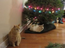 The tree was barely up when the cats claimed their spots underneath. The third cat is hidden behind the tree on the other side.
