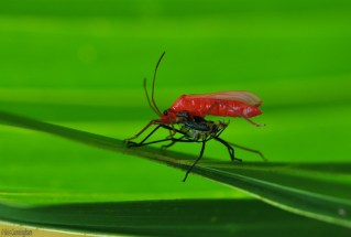 I think this red bug is shedding its old skin