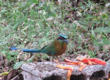 I put out some papaya peels for the birds, and this beautiful blue crowned mot mot visited. This is a visitor who can be seen throughout the year though, not just in summer.