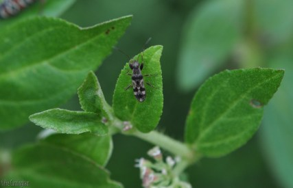 It's hard to get upset with the weeds when they have such pretty little bugs