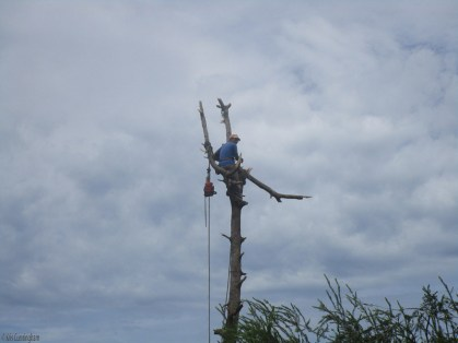It's usually a man with a machete in a tree doing this sort of work, but today it was a man with a chain saw.