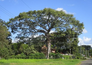 I never get tired of visiting this huge tree. That house that looks so small is a large, two story house.