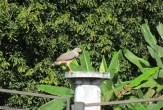 This hawk grabbed something out of the bushes and went up here to eat it.
