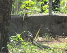 There were three iguanas this day! Another was nearby almost hidden and munching on weeds