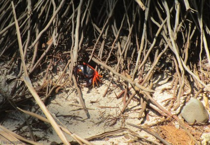 We found this colorful crab in the roots of a coconut palm