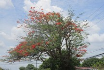 a flame tree, not as covered and spectacular as some, but still pretty