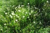 dandelion seeds catch the sun