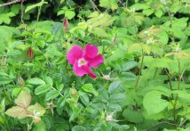 these look like wild roses growing along the highway
