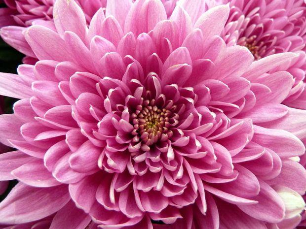 800px-Pink_Chrysanthemum_(5946972895)