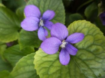 violets-330625_640